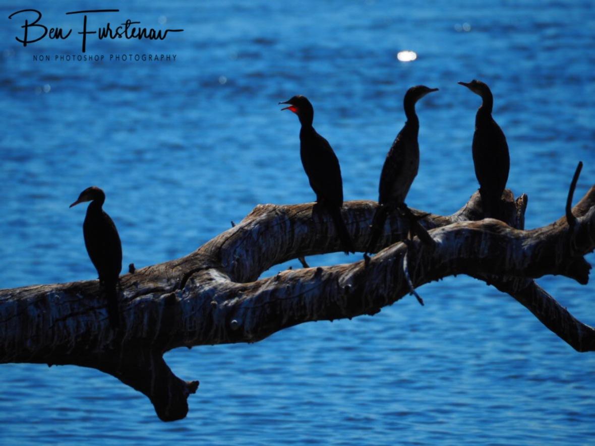 Drinking Fish Eagle, Chobe National Park, Botswana