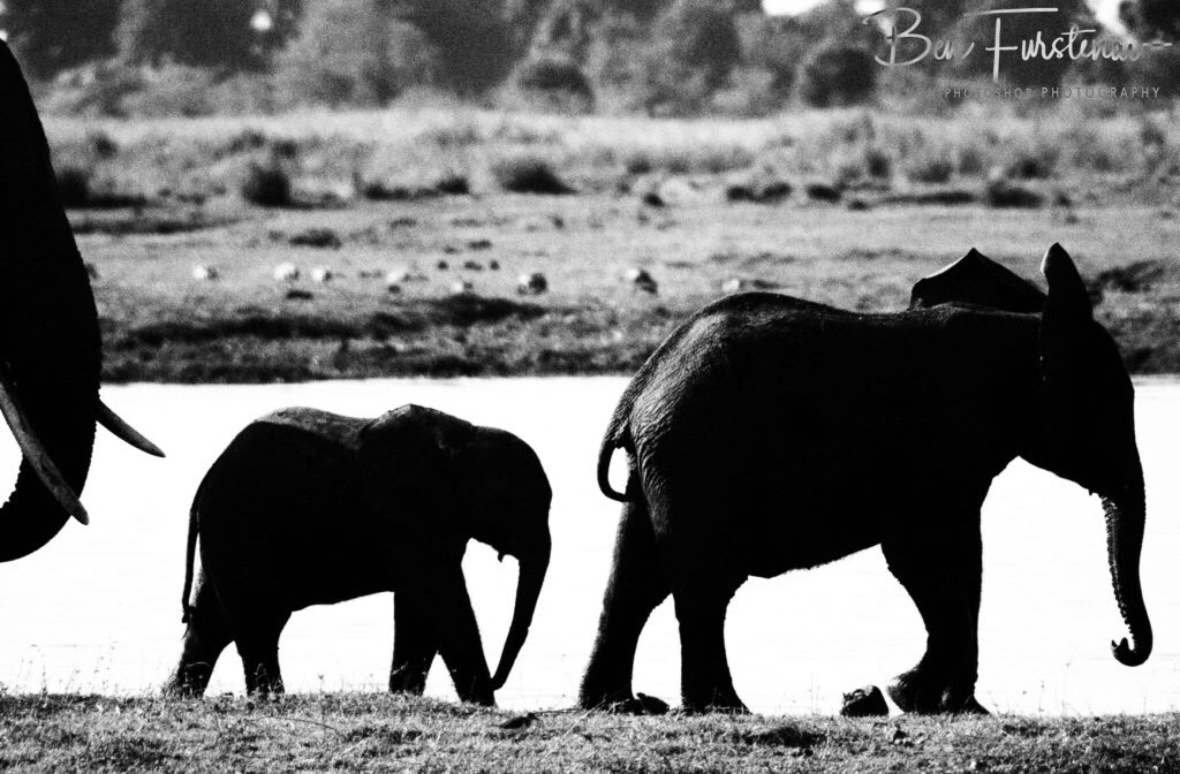 Elephant catwalk in black and white, Chobe National Park, Botswana