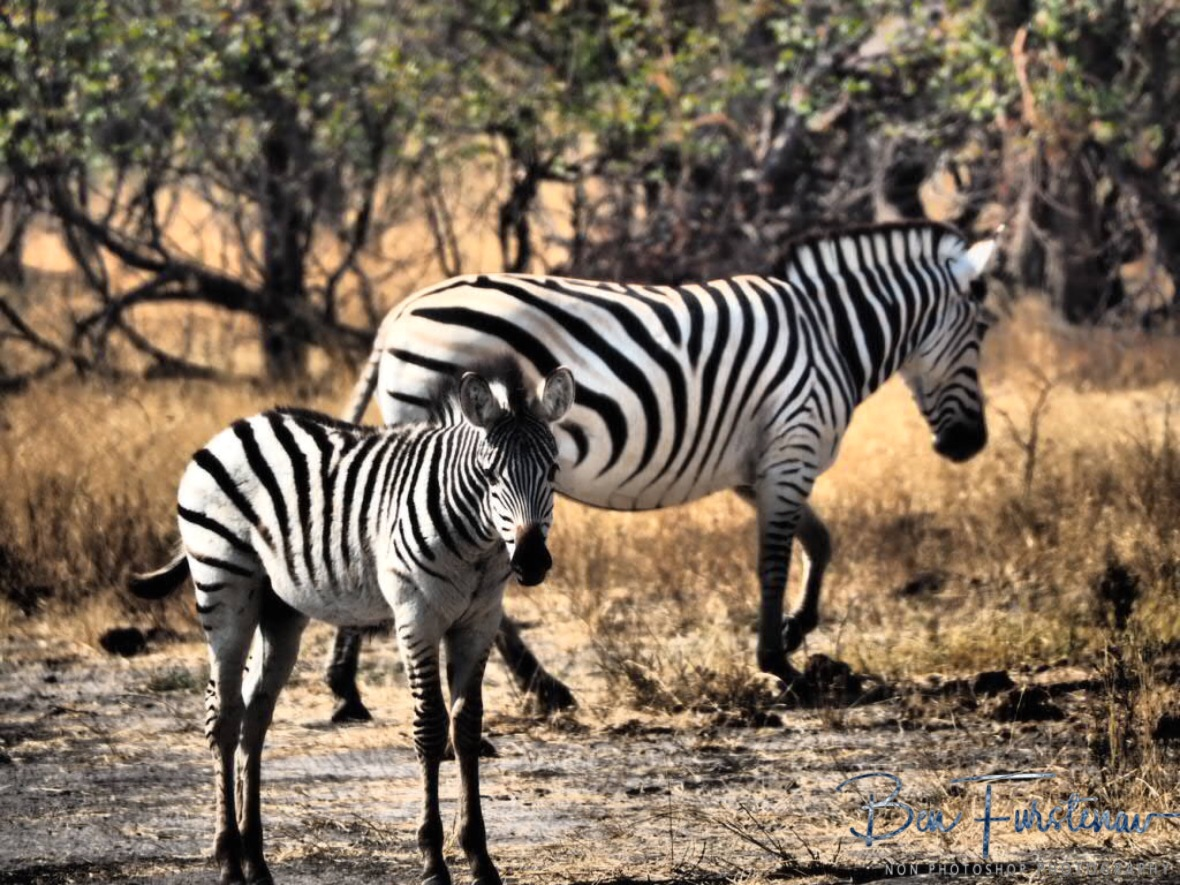 Chapman zebra mom and fowl, Moremi National Park, Botswana