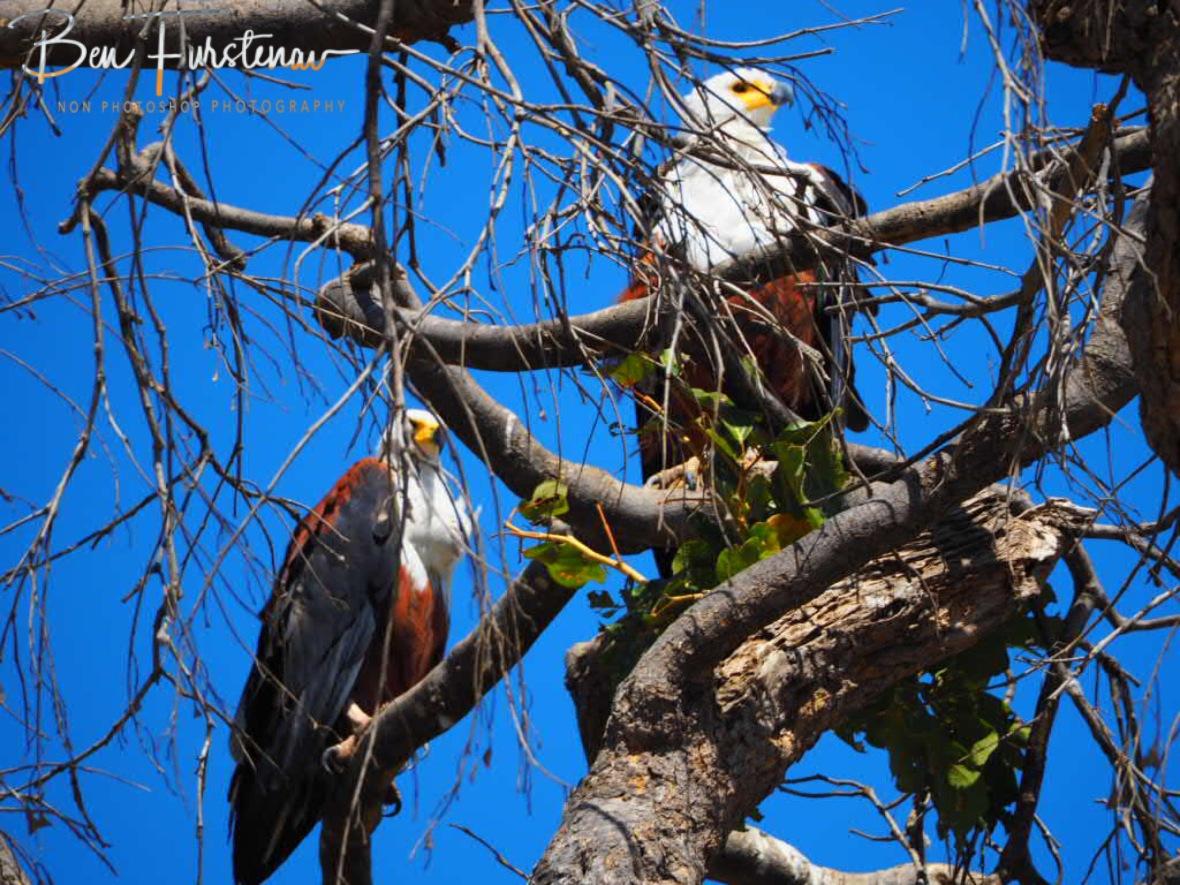 A nisting pair?, Chobe National Park, Botswana