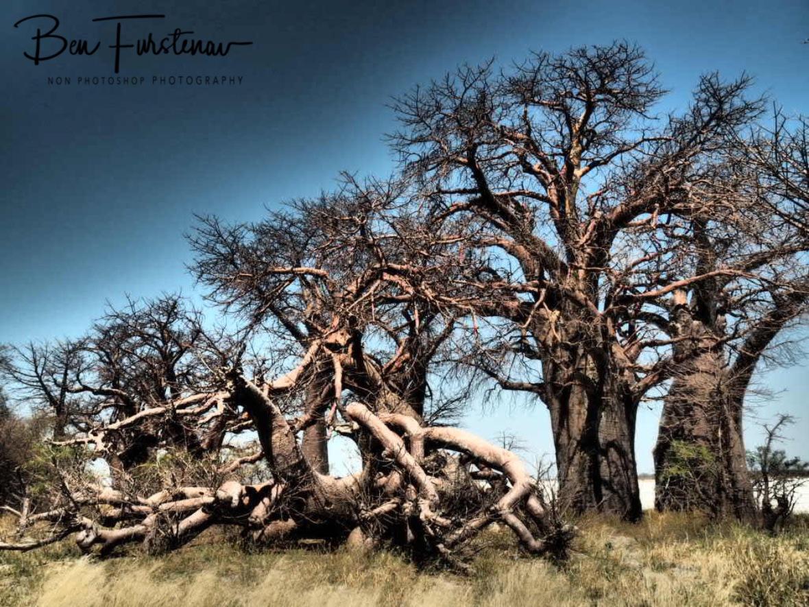 Baines Baobabs, Makgadikgadi Salt Pans, Botswana