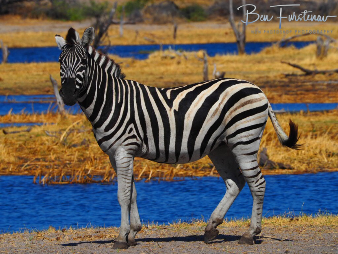 Zebra parade, Makgadikgadi National Park, Botswana