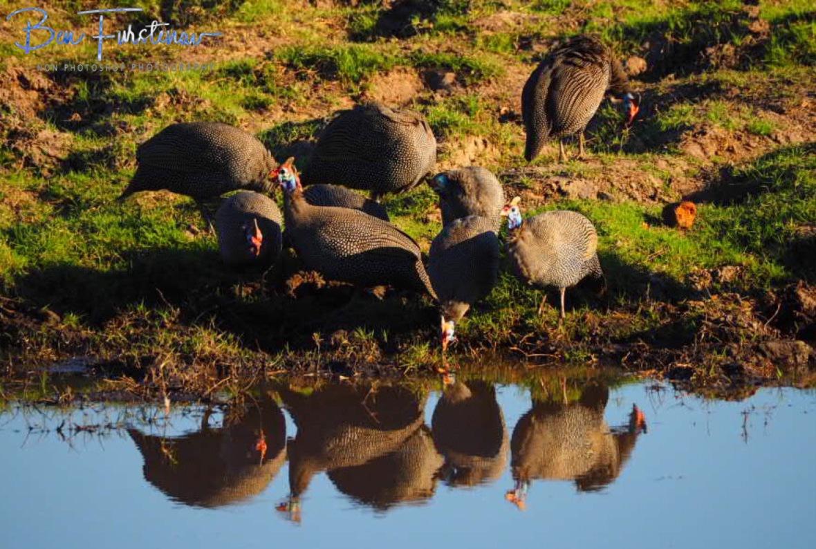 Guinea Fowl mirror, Chobe National Park, Botswana