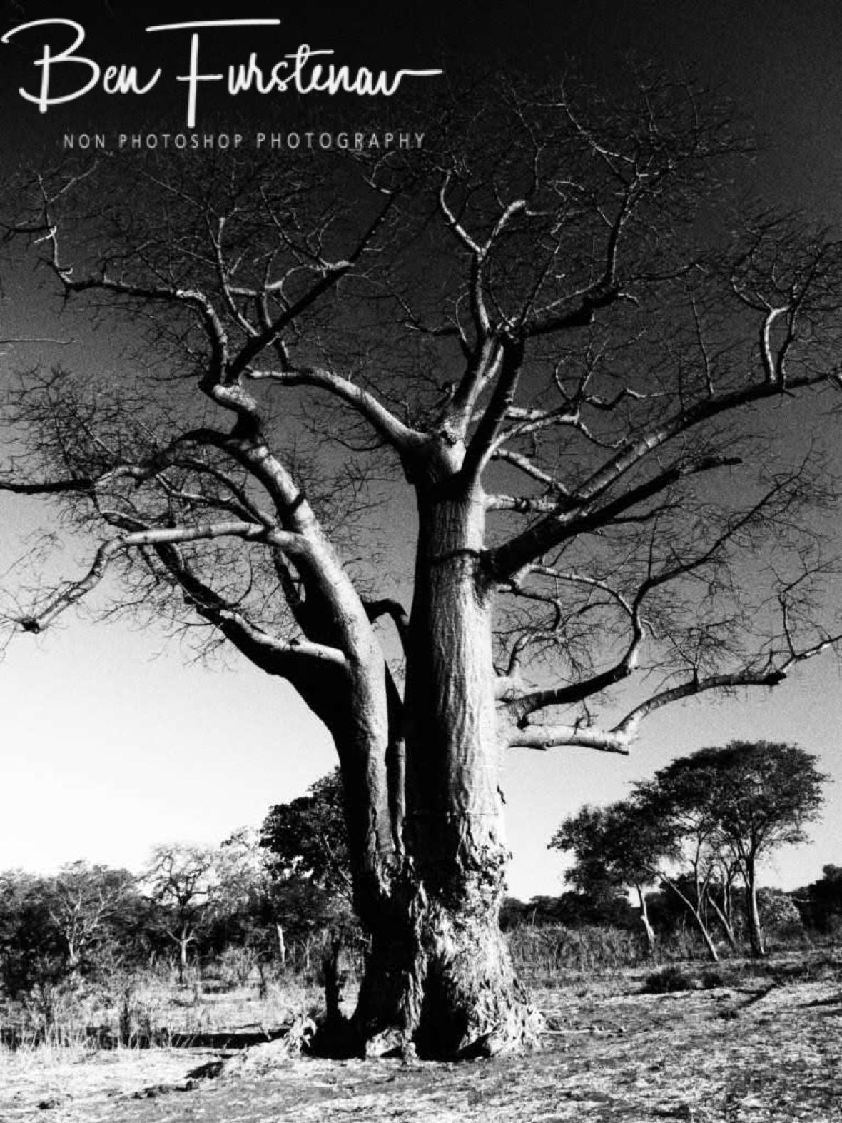 An elephant scratch Baobab, Okavango Delta, Botswana