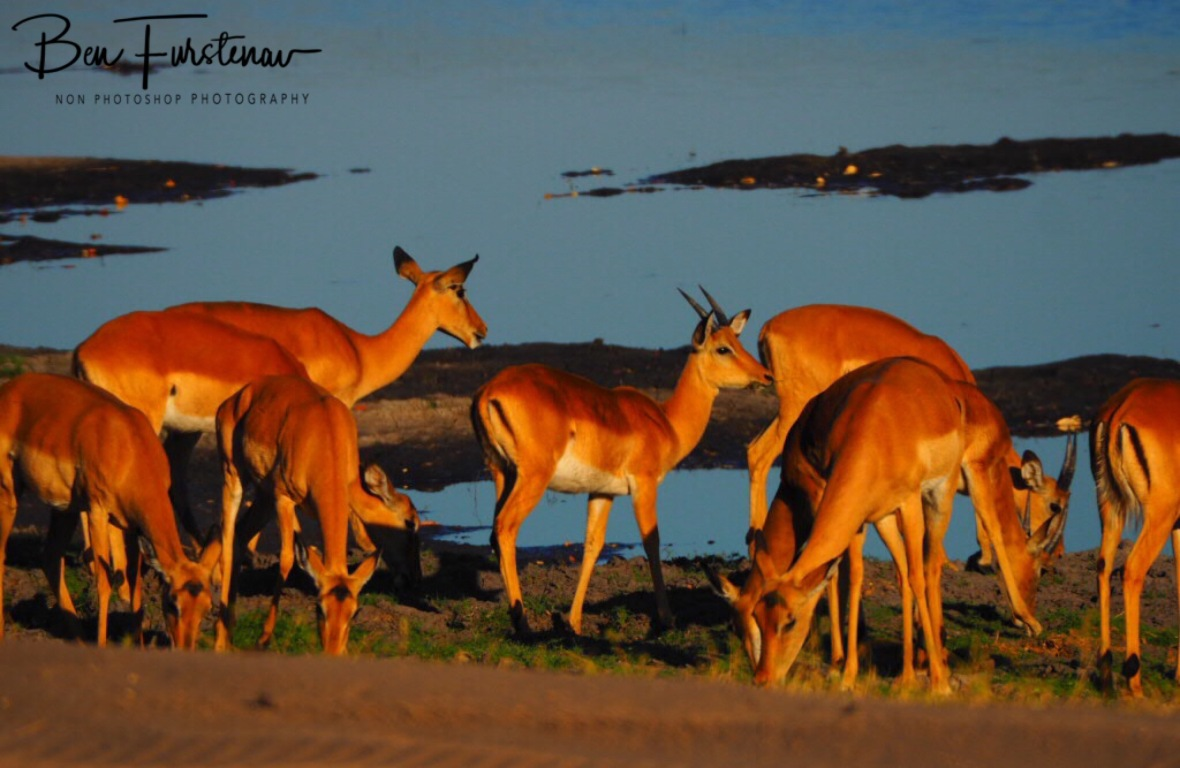 Impala grazing early morning, Chobe National Park, Botswana