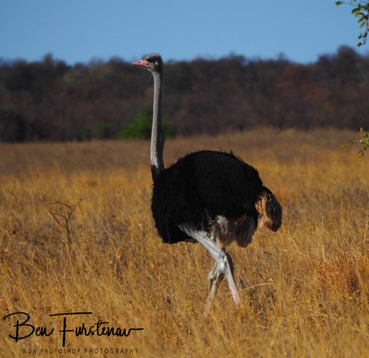 Ostrich roaming the savanna, Chobe National Park, Botswana