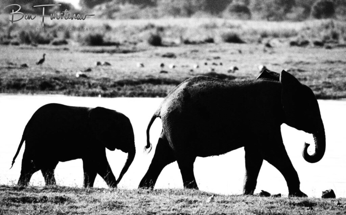 Big brother leads the way, Chobe National Park, Botswana