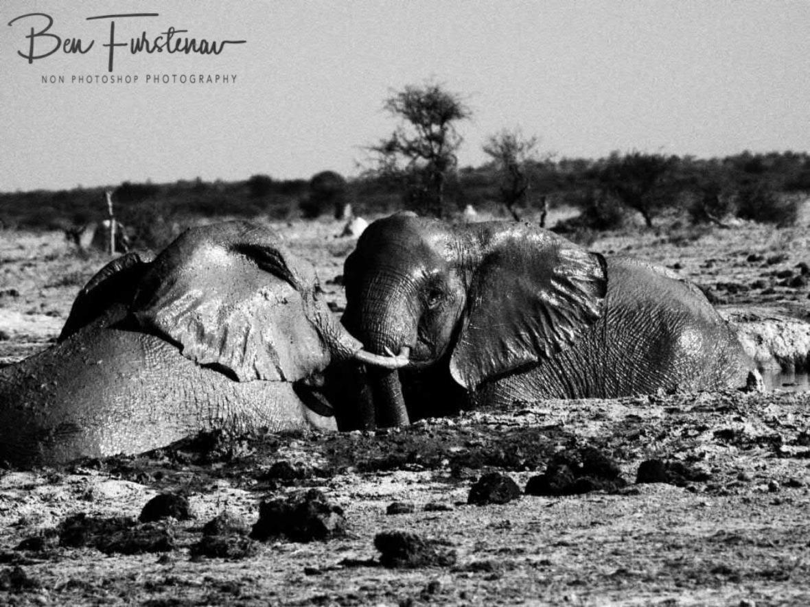 Muscle tussle, Nxai National Park, Botswana