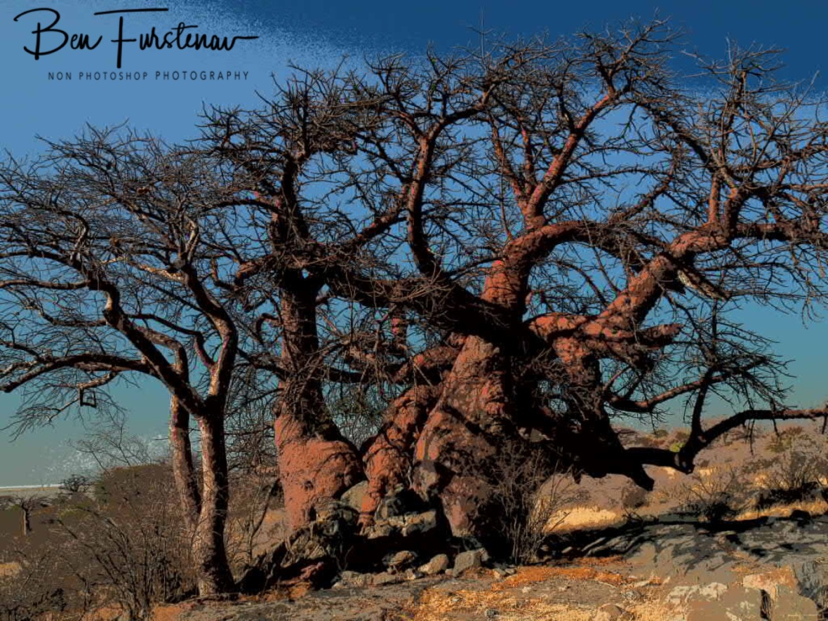 Dancing branches, Kubu Island, Makgadikgadi Salt Pans, Botswana