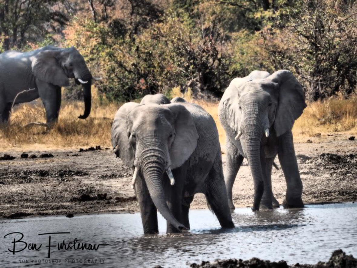 Full off energy, Moremi National Park, Botswana