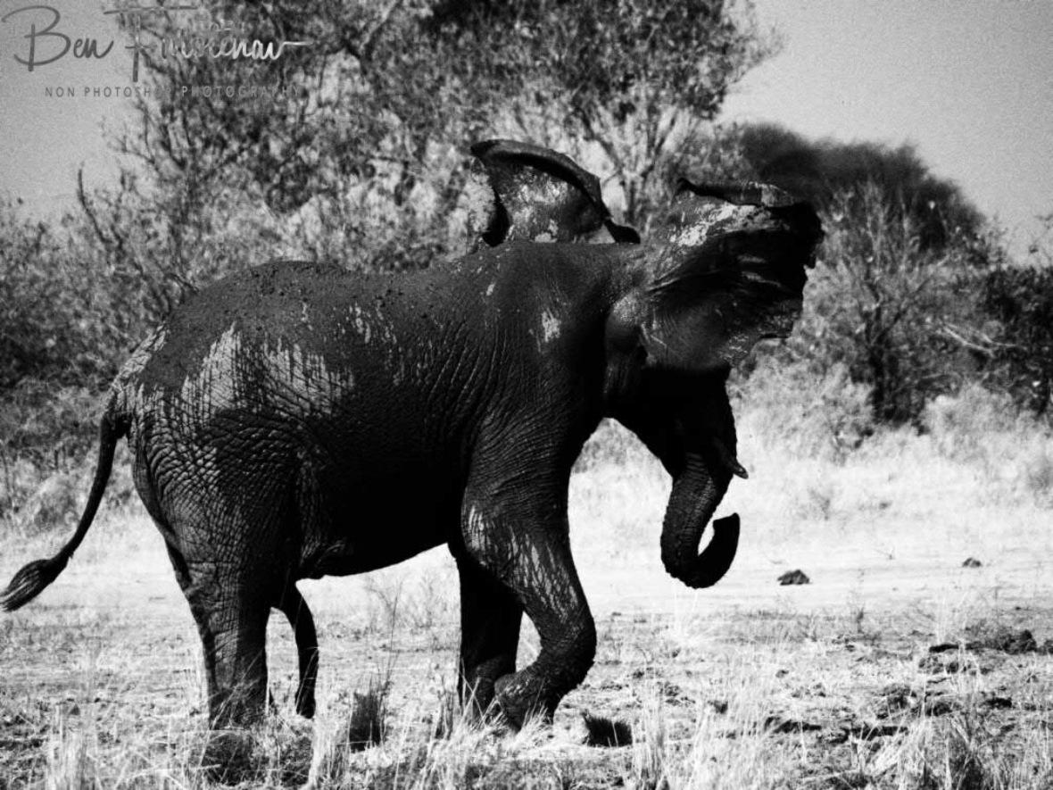 Full body shake, Moremi National Park, Botswana