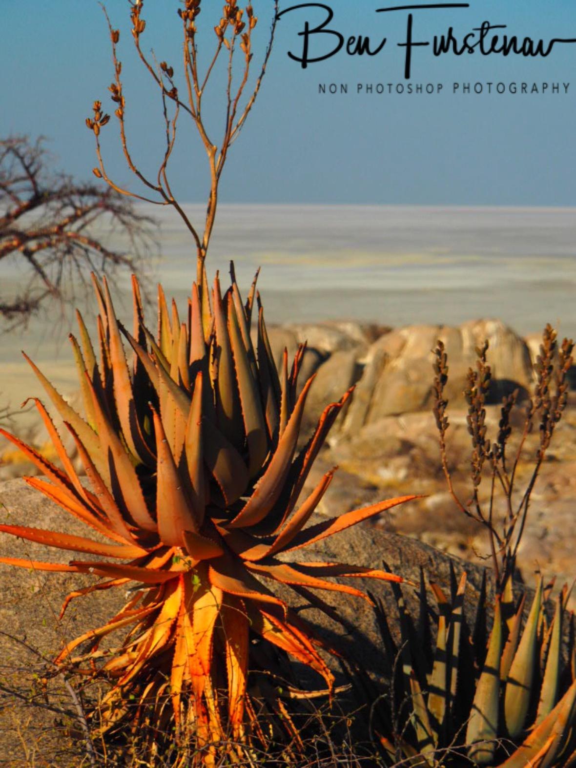 Alora vera?, Kubu Island, Makgadikgadi Salt Pans, Botswana