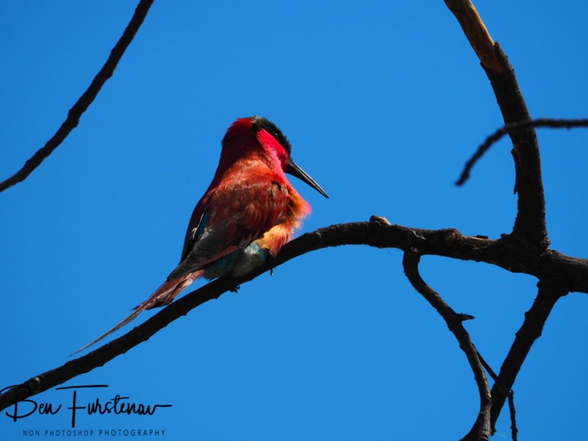 Sunbird enjoying the sun, Chobe National Park, Botswana
