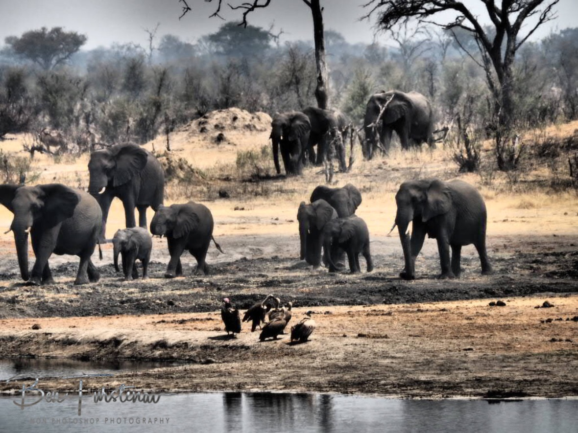 Another herd rushing to the waterhole, Khaudum National Park, Namibia