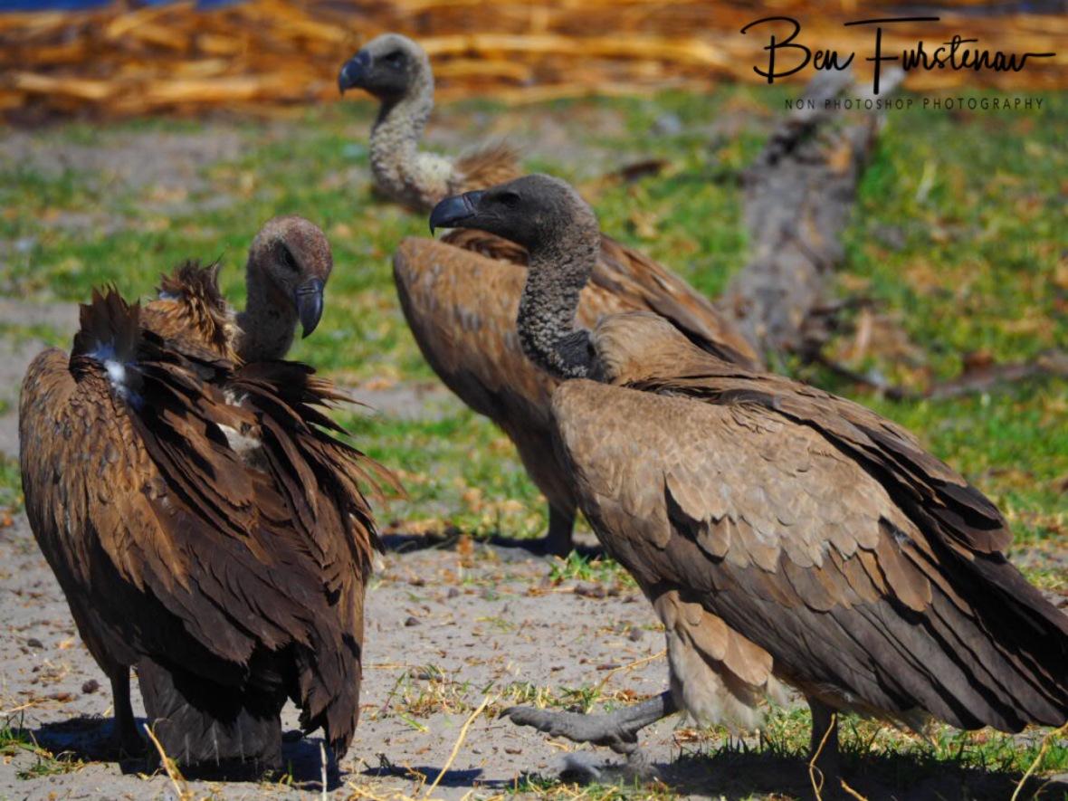 Vulture meeting, Makgadikgadi National Park, Botswana
