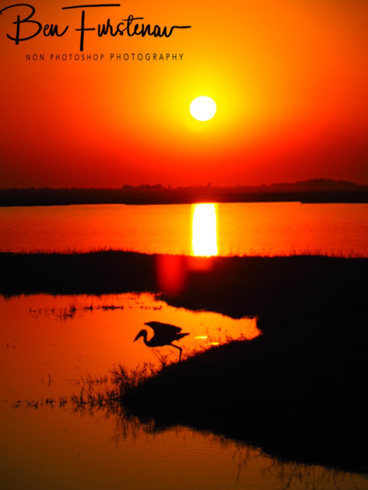 Great Egret flies in to the sunset, Chobe National Park, Botswana