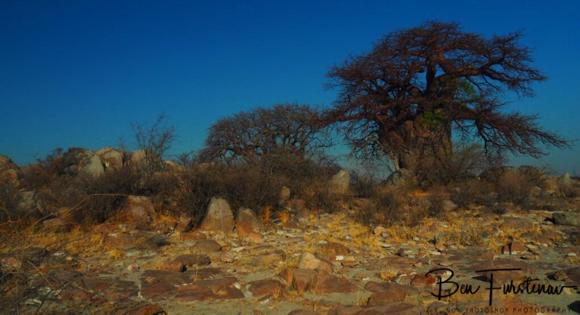Living on granite grounds, Kubu Island, Makgadikgadi Salt Pans, Botswana