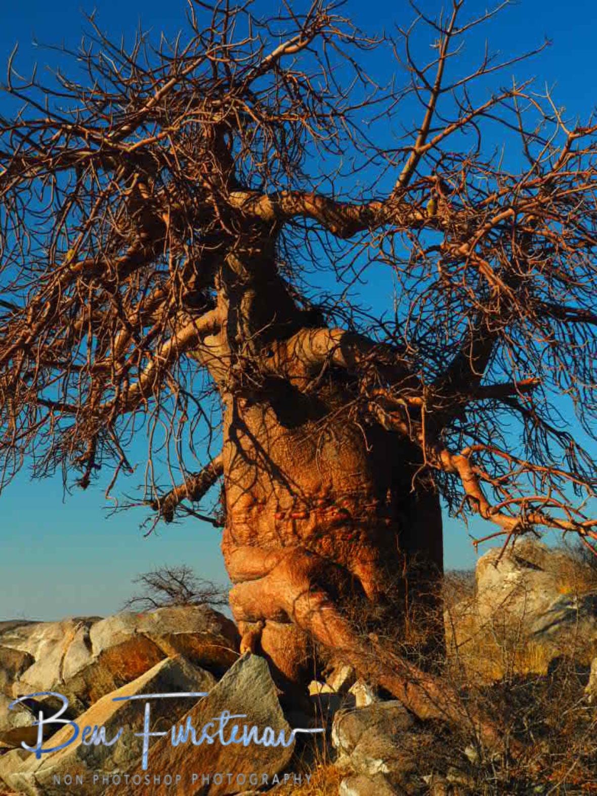 Walking stick?, Kubu Island, Makgadikgadi Salt Pans, Botswana