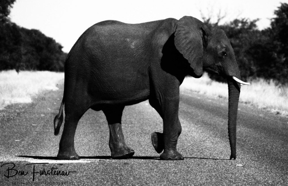 Gentle elephant crossing, Chobe National Park, Botswana