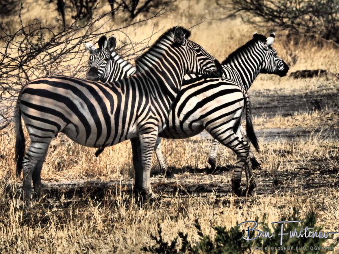 Friends for Zebras, Moremi National Park, Botswana