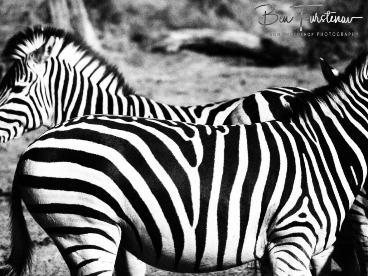 Black and white stripes, Botswana, Makgadikgadi National Park