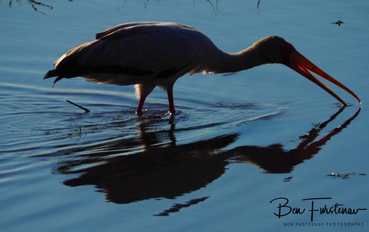 Stork reflections, Chobe National Park, Botswana