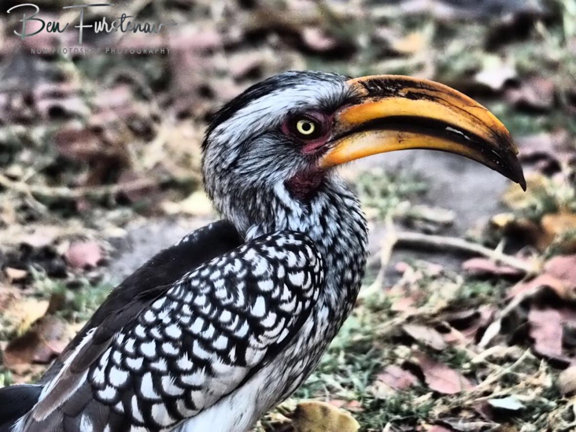Pretty Hornbill, Nkasa National Park, Namibia