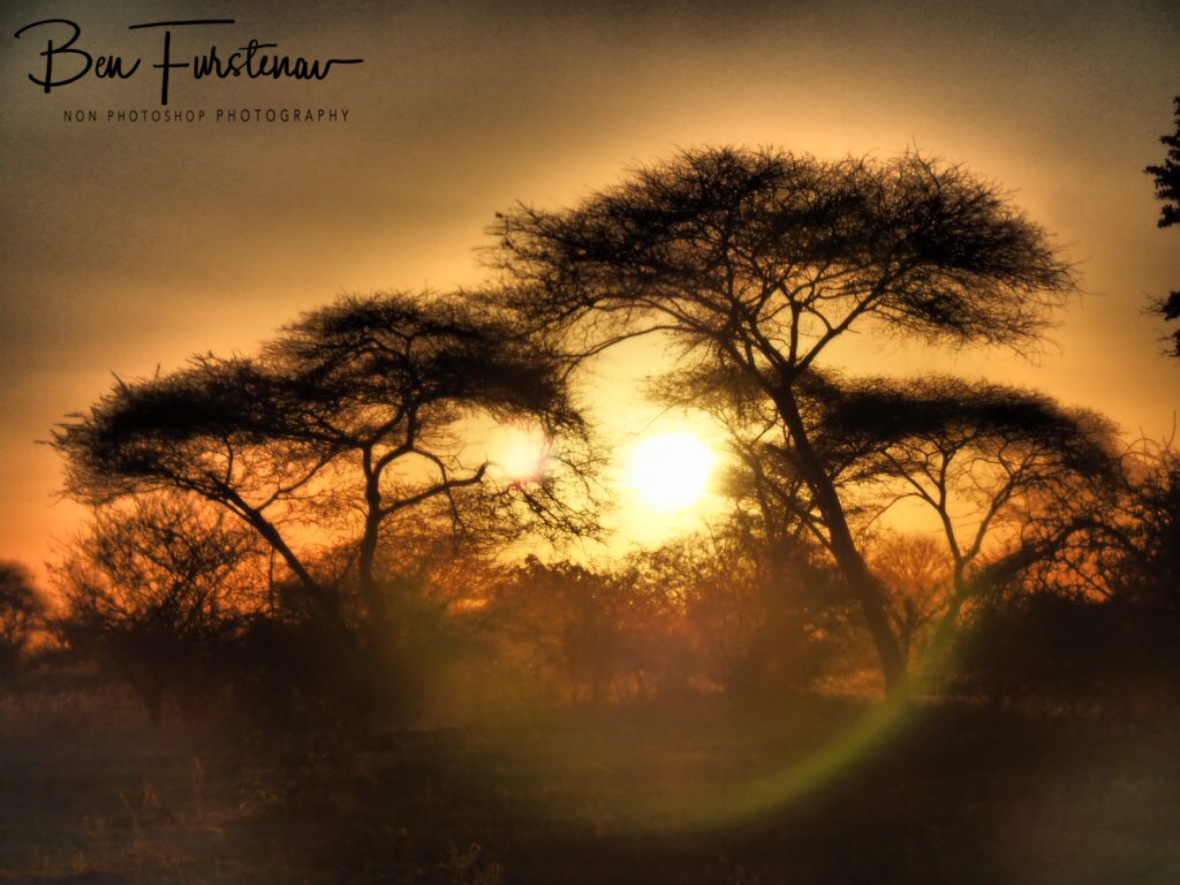 Sun is setting lower over umbrella accacia trees, Chobe National Park, Botswana
