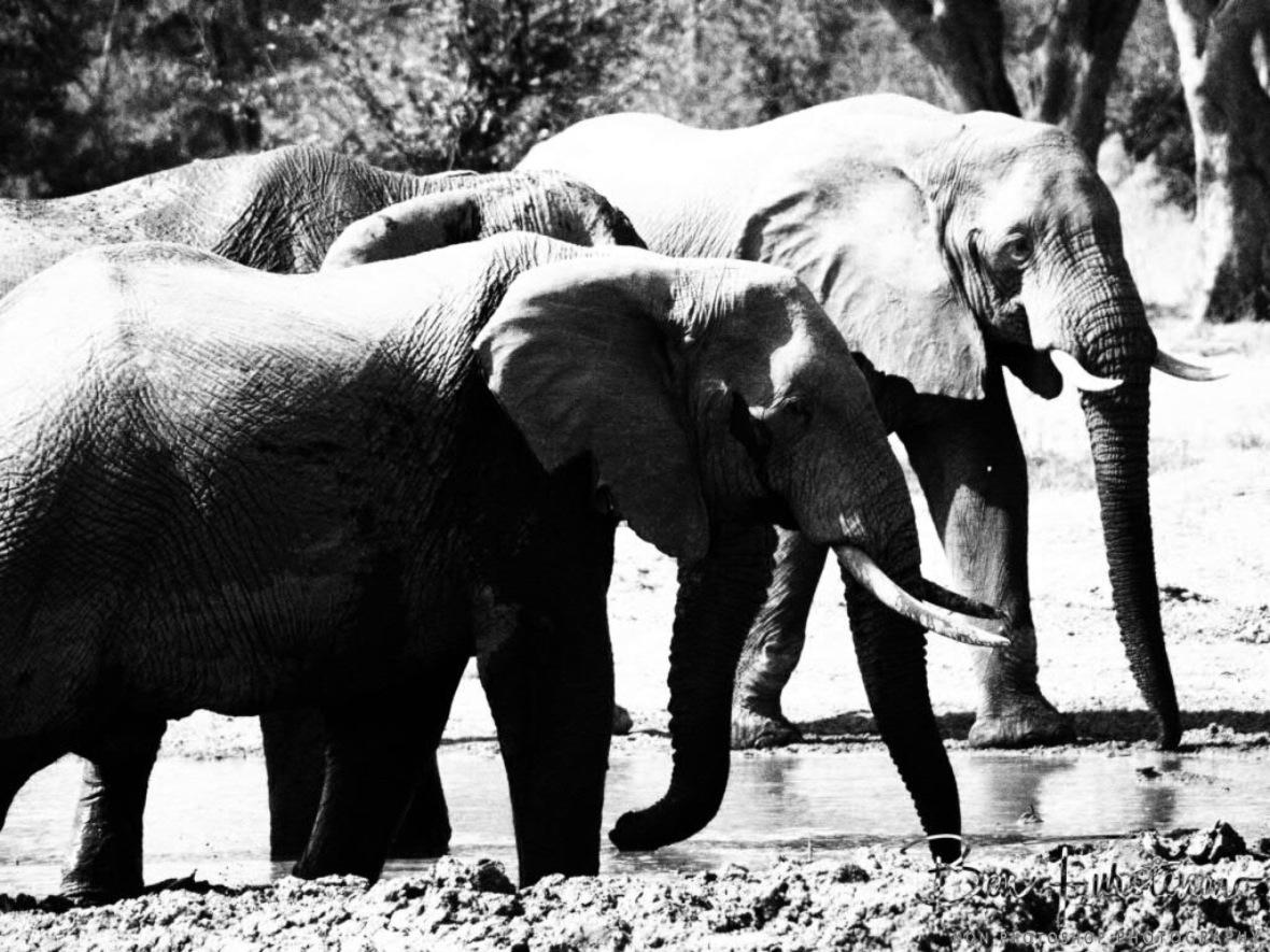 Junglebook herd, Moremi National Park, Botswana