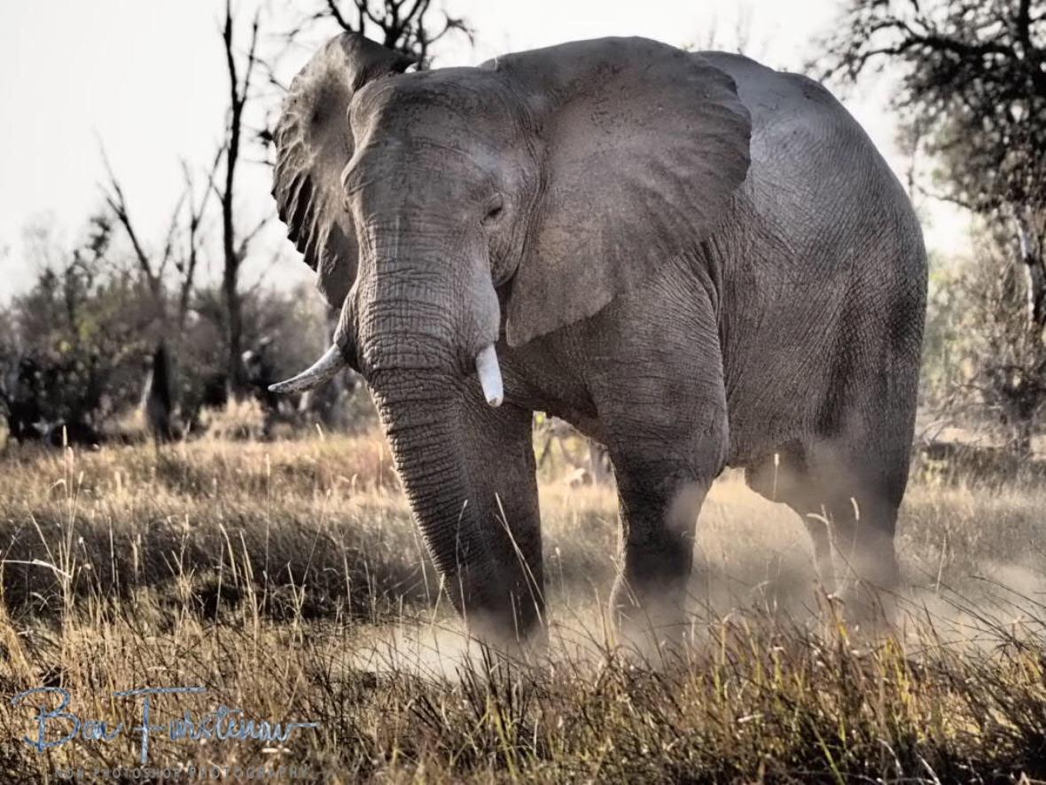 Feeding technique, Moremi National Park, Botswana