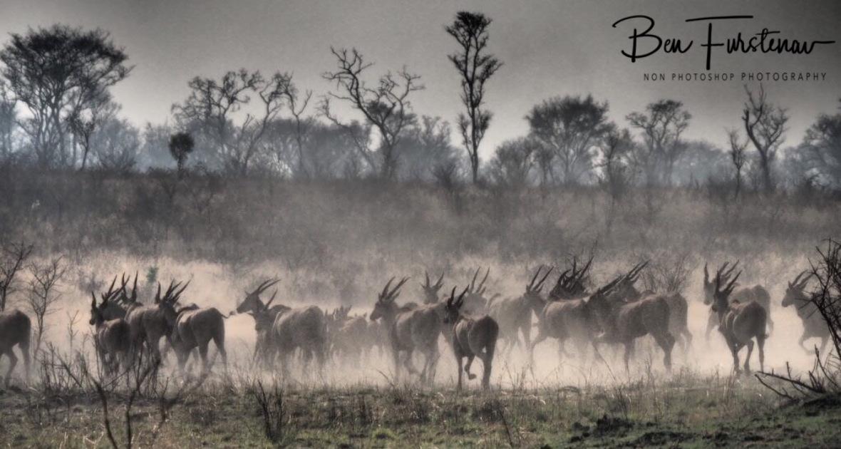 Enormous Eland herd, Khaudum National Park, Namibia