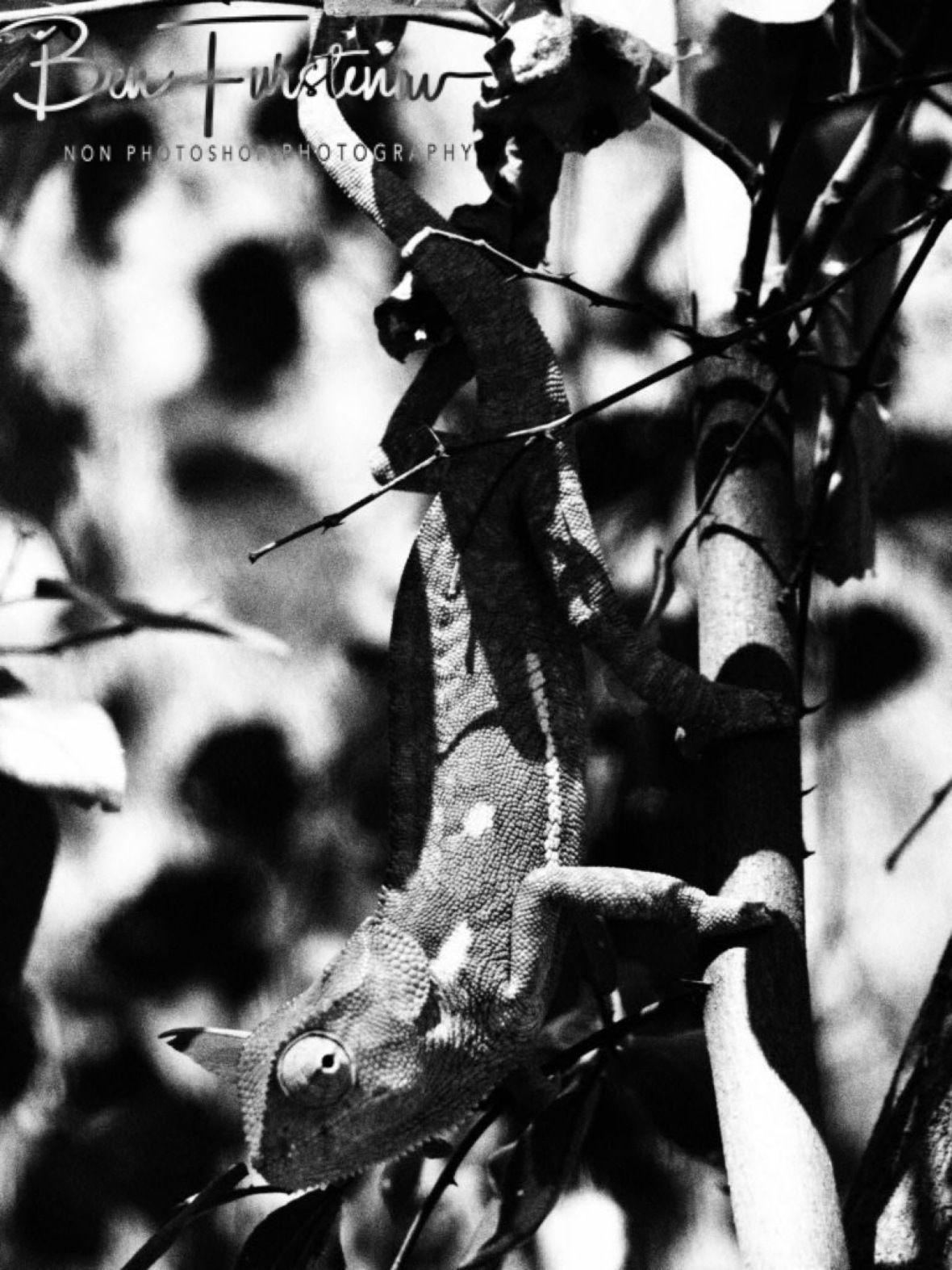Chameleon in black and white, Maun, Botswana