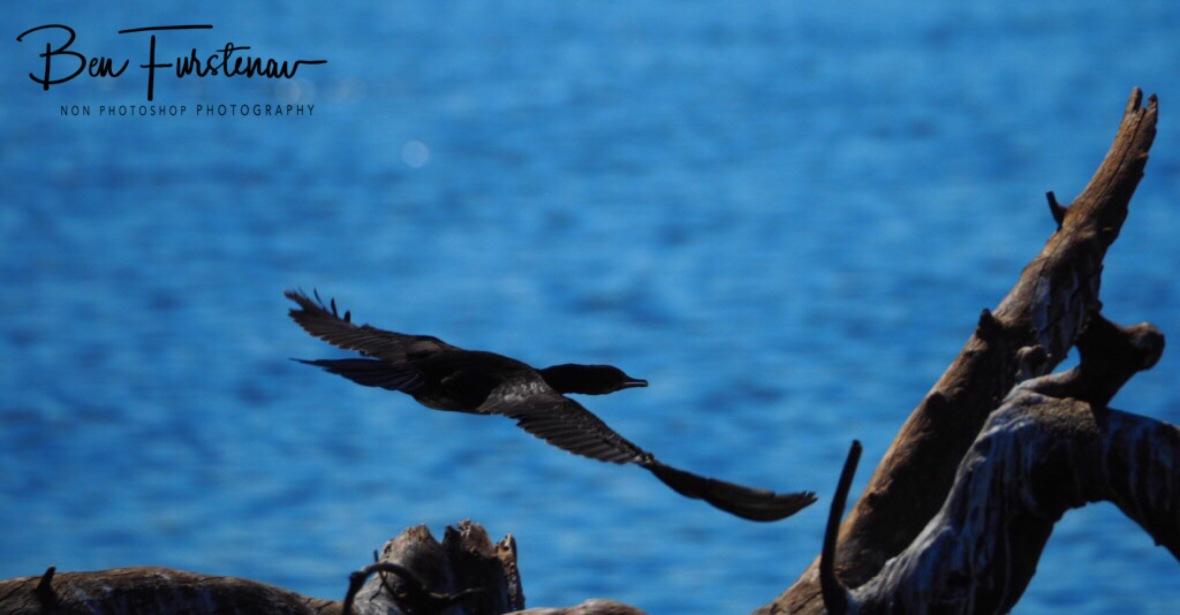 Cormorant flying of, Chobe National Park, Botswana