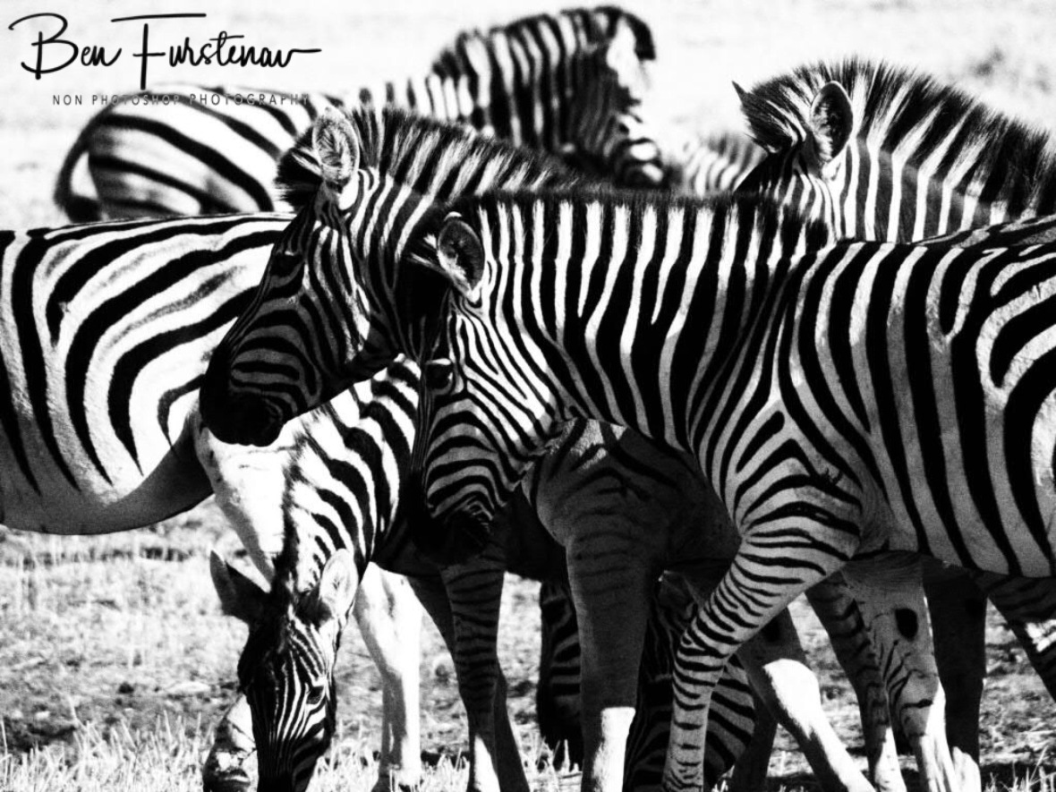 Confusing hunters, Makgadikgadi National Park, Botswana
