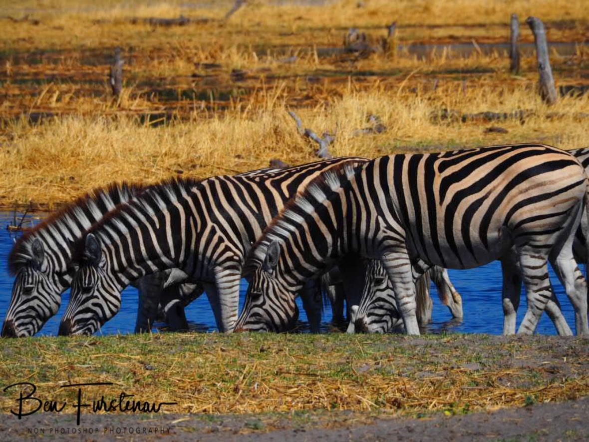 Zebra line drinking, Makgadikgadi National Park, Botswana