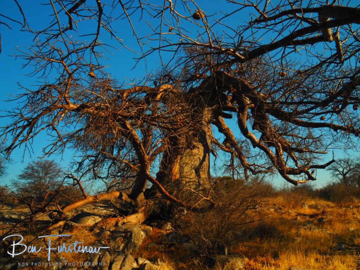 Large network off branches, Kubu Island, Makgadikgadi Salt Pans, Botswana