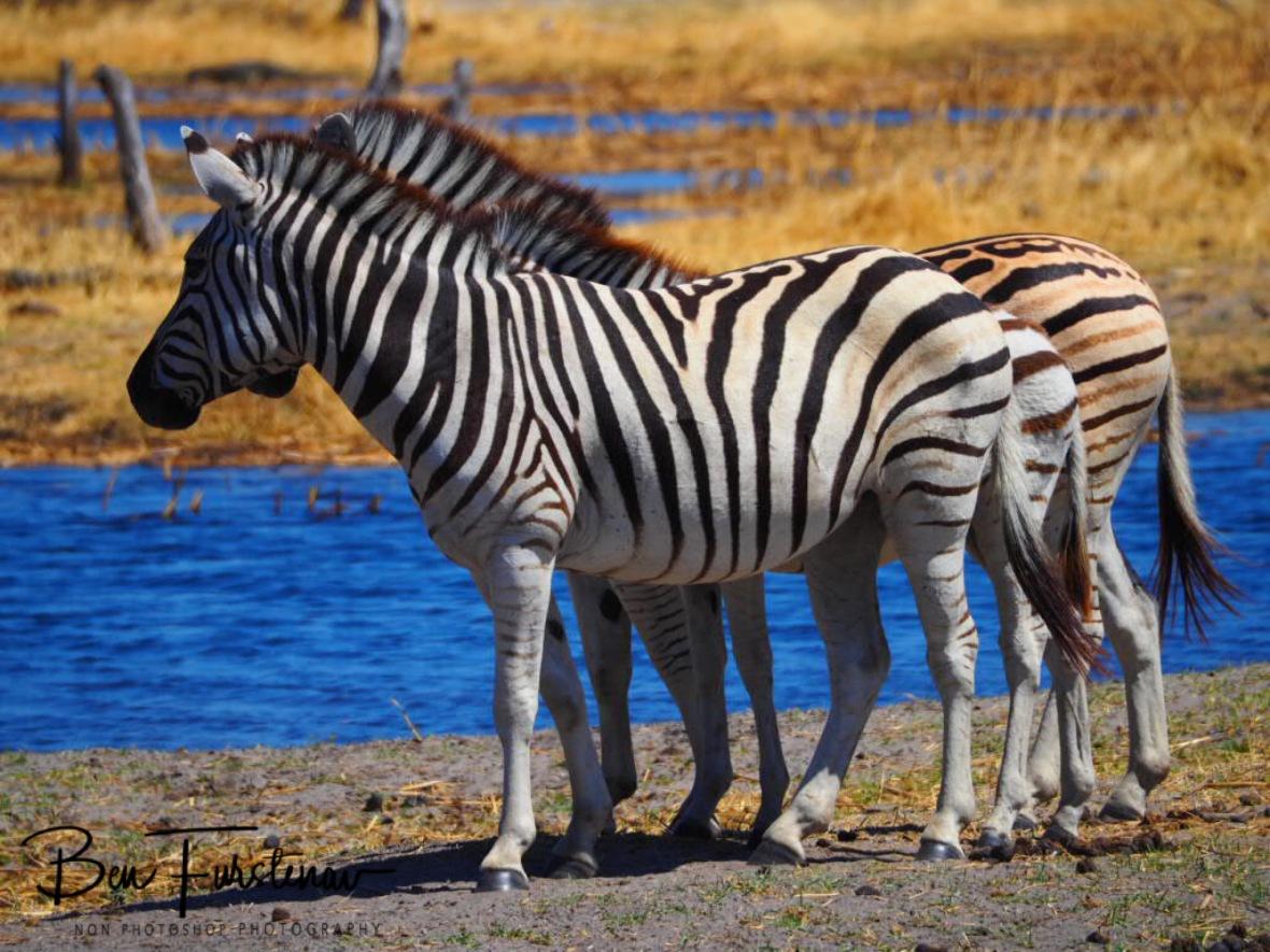 3-D zebra, Makgadikgadi National Park, Botswana