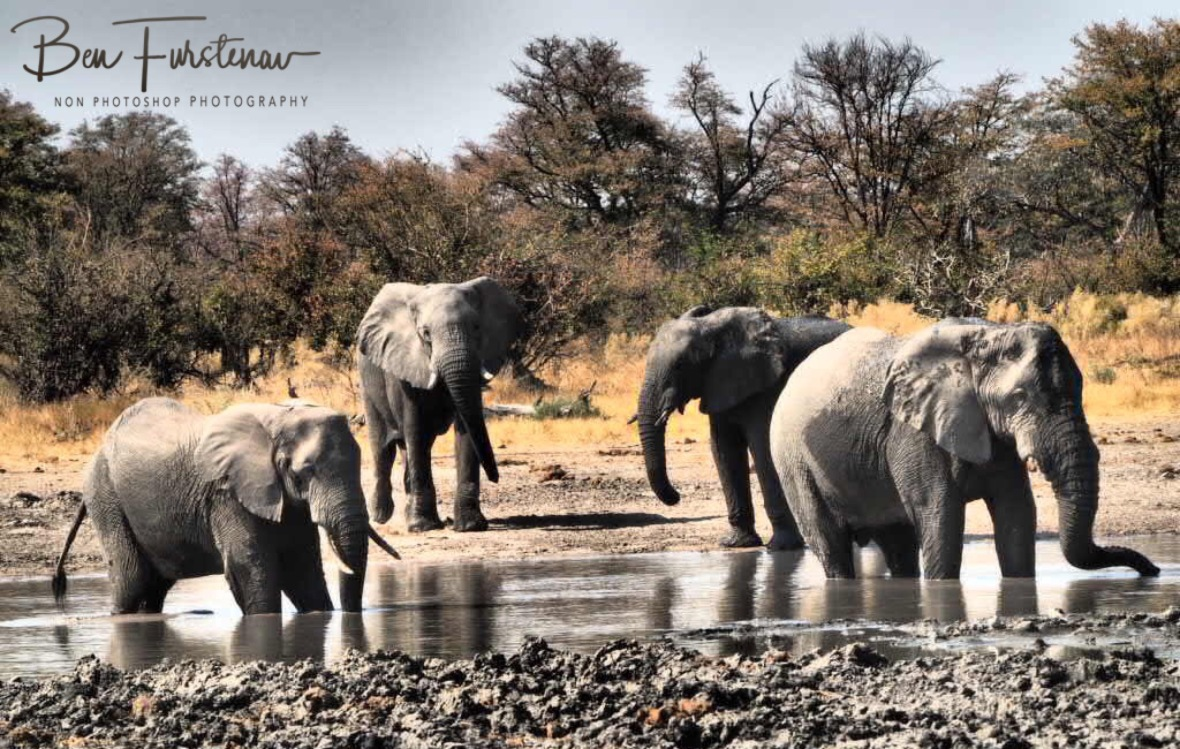 Captains return, time to March on, Moremi National Park, Botswana
