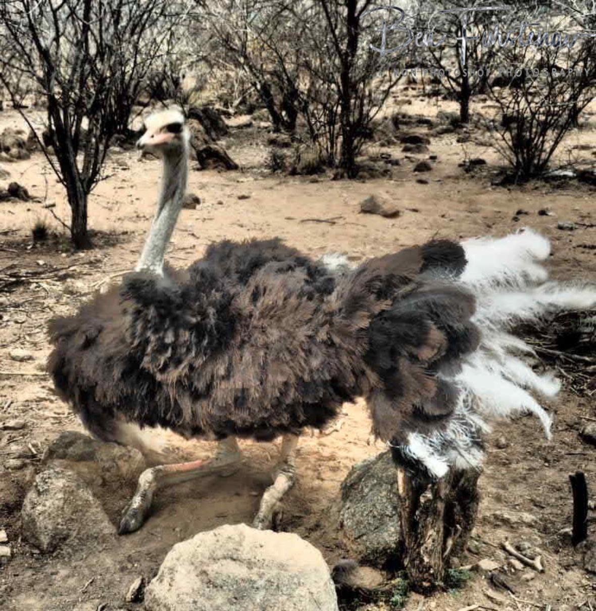Oppi Koppi welcome dance, Kamanjab, Namibia