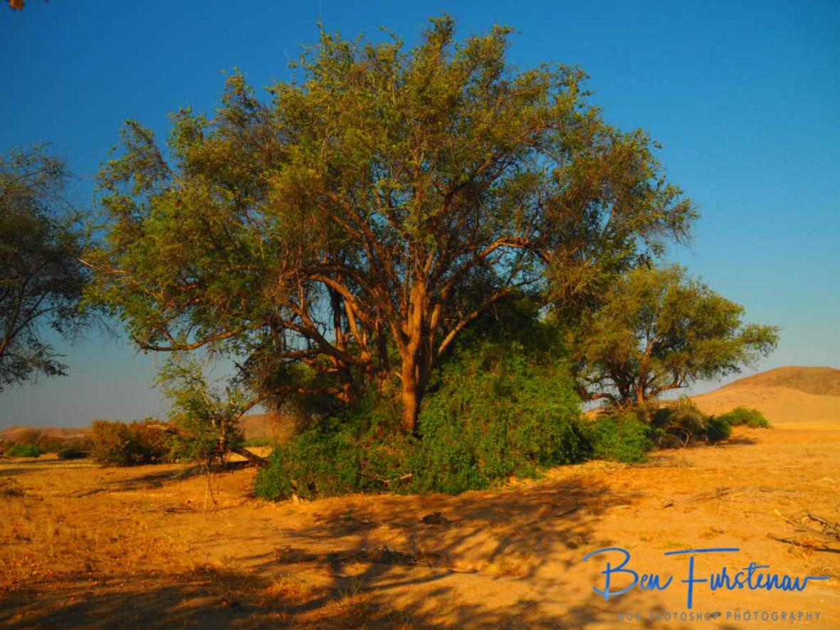 Water beneath the surface supports an unexpected garden Eden, Damaraland, Namibia