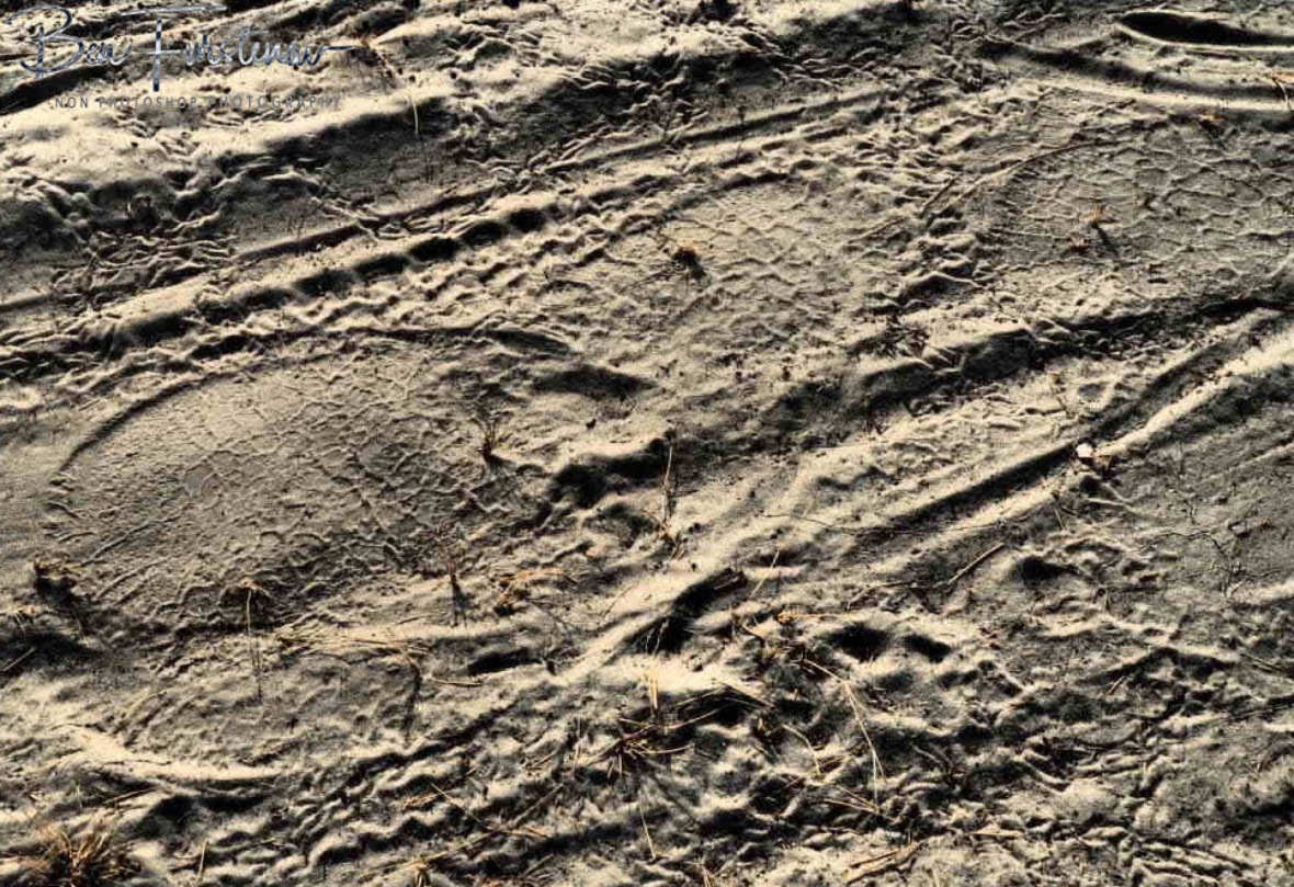 Elephant and lion footprints next to Zimba, Khaudum National Park, Namibia
