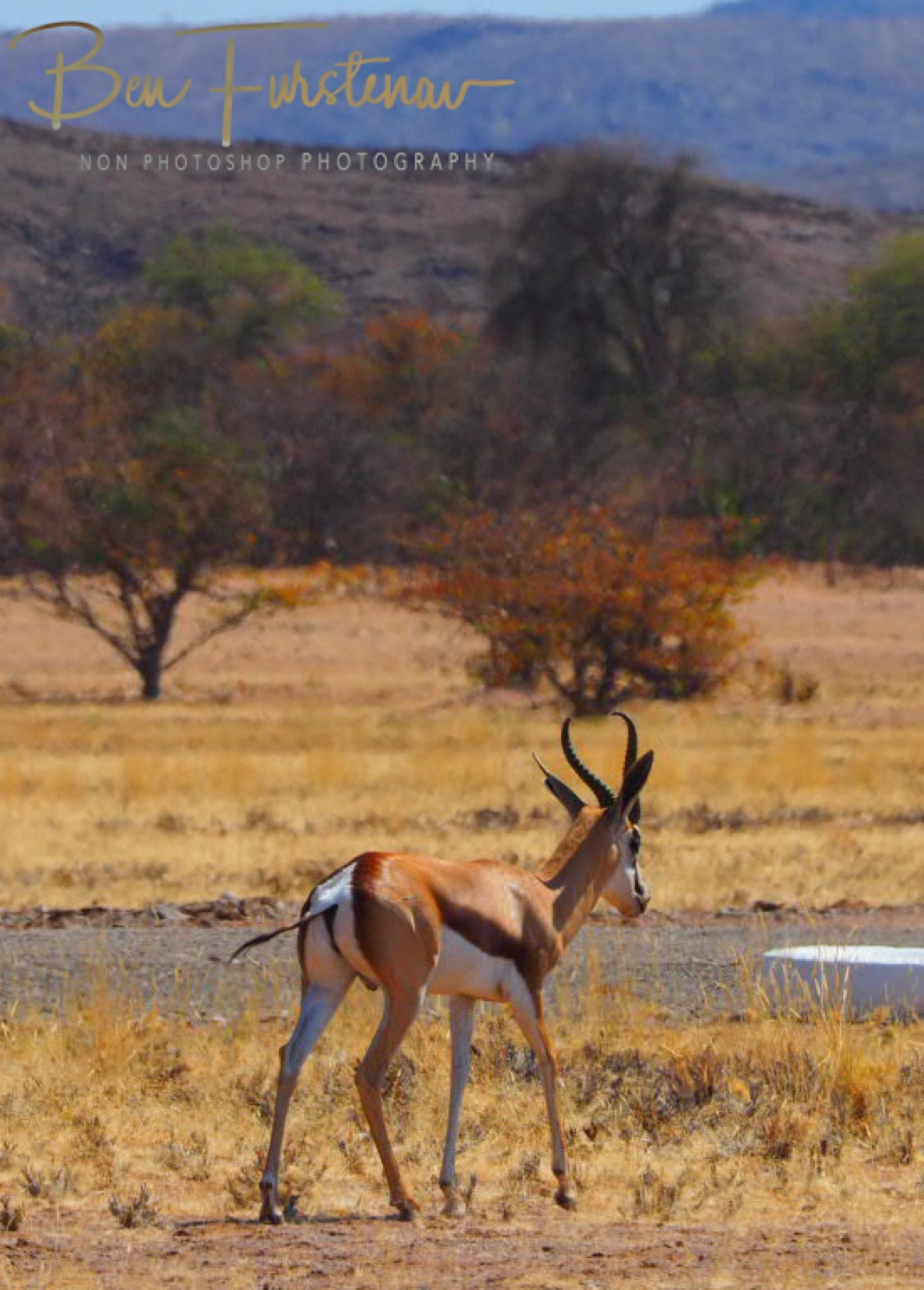 Springbok heading to airstrip, Brandberg Mountains, Namibia