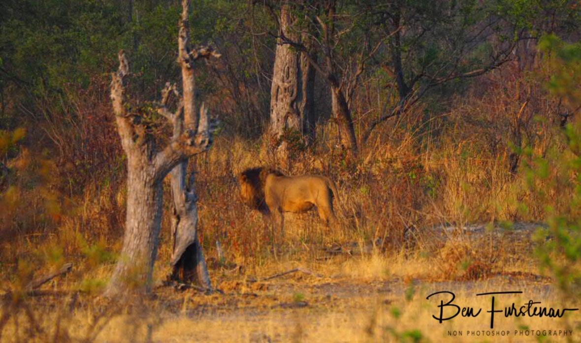 Disappearing in thick bush land, Khaudum National Park, Namibia