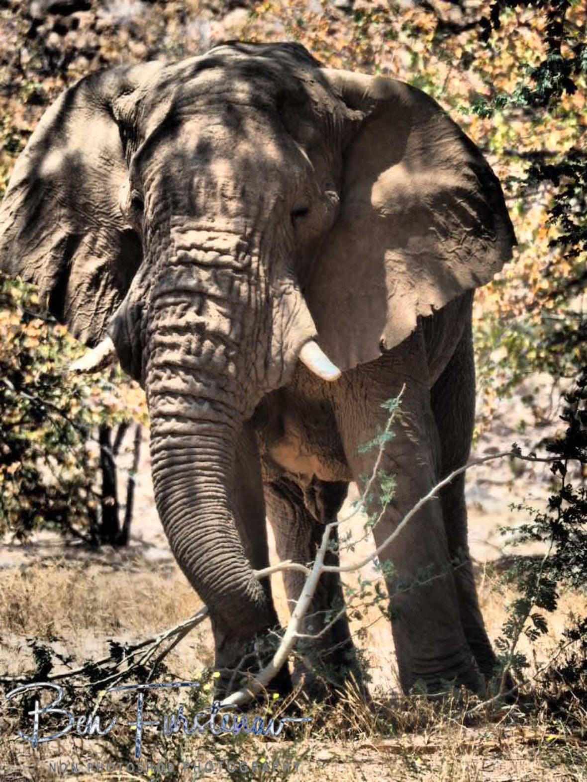 Stumpy in appearance, Damaraland, Namibia