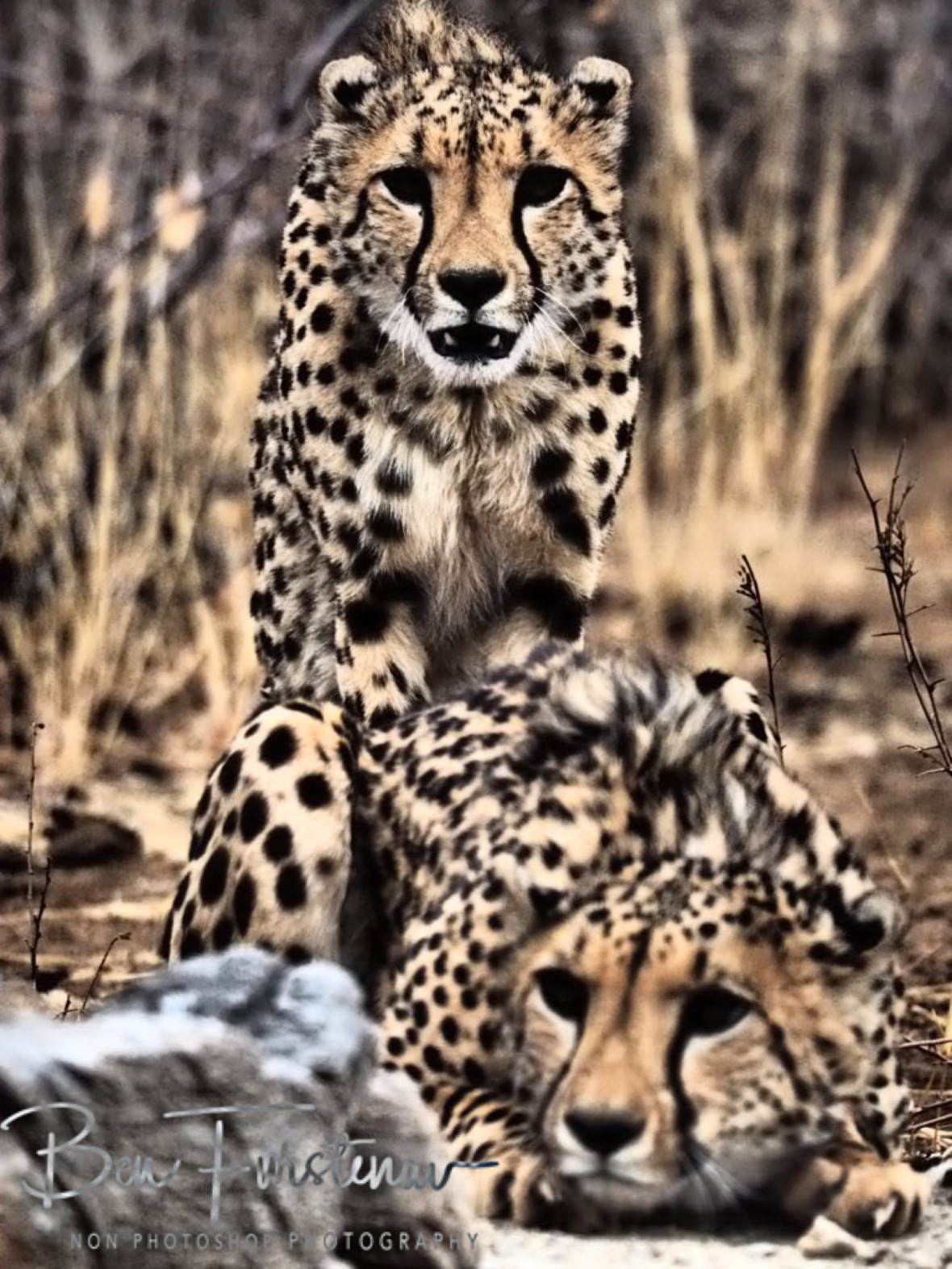 Cheetah brother Kibby and Kitty, Sophienhof, Outjo, Namibia