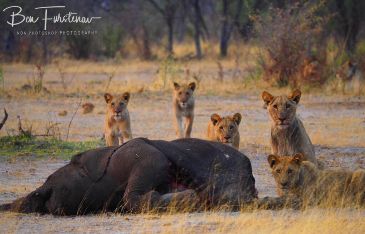 Everyone is looking at me!, Khaudum National Park, Namibia