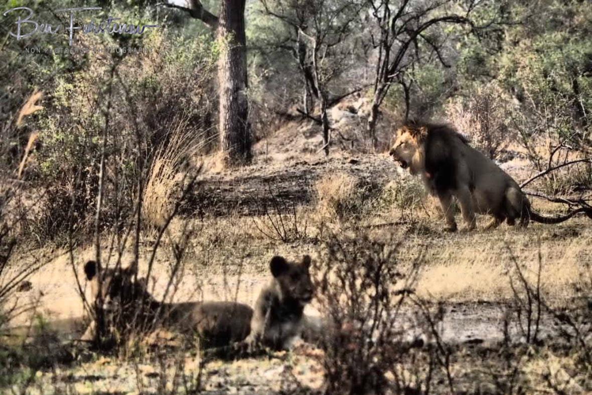 Marking his kingdom, Khaudum National Park, Namibia