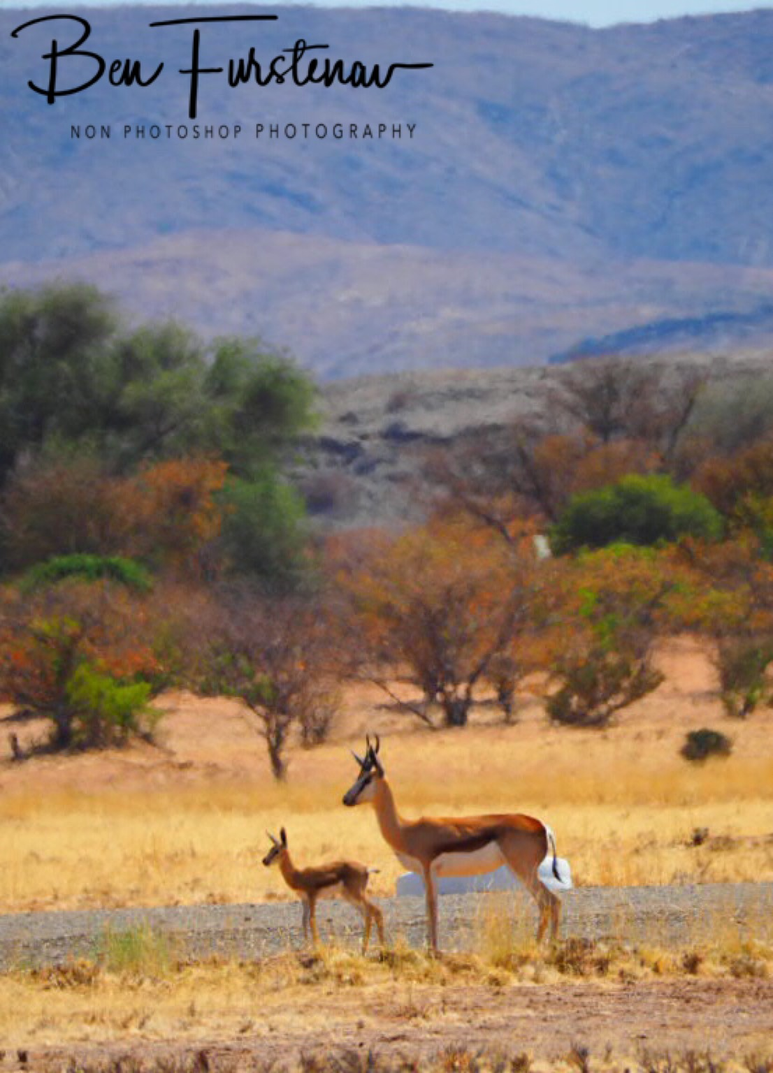 Young springbok calve and mother using airstrip, Brandberg, Brandberg Mountains
