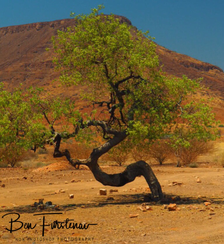 Swirly tree, Groote Berge, Kaokoveld, Namibia