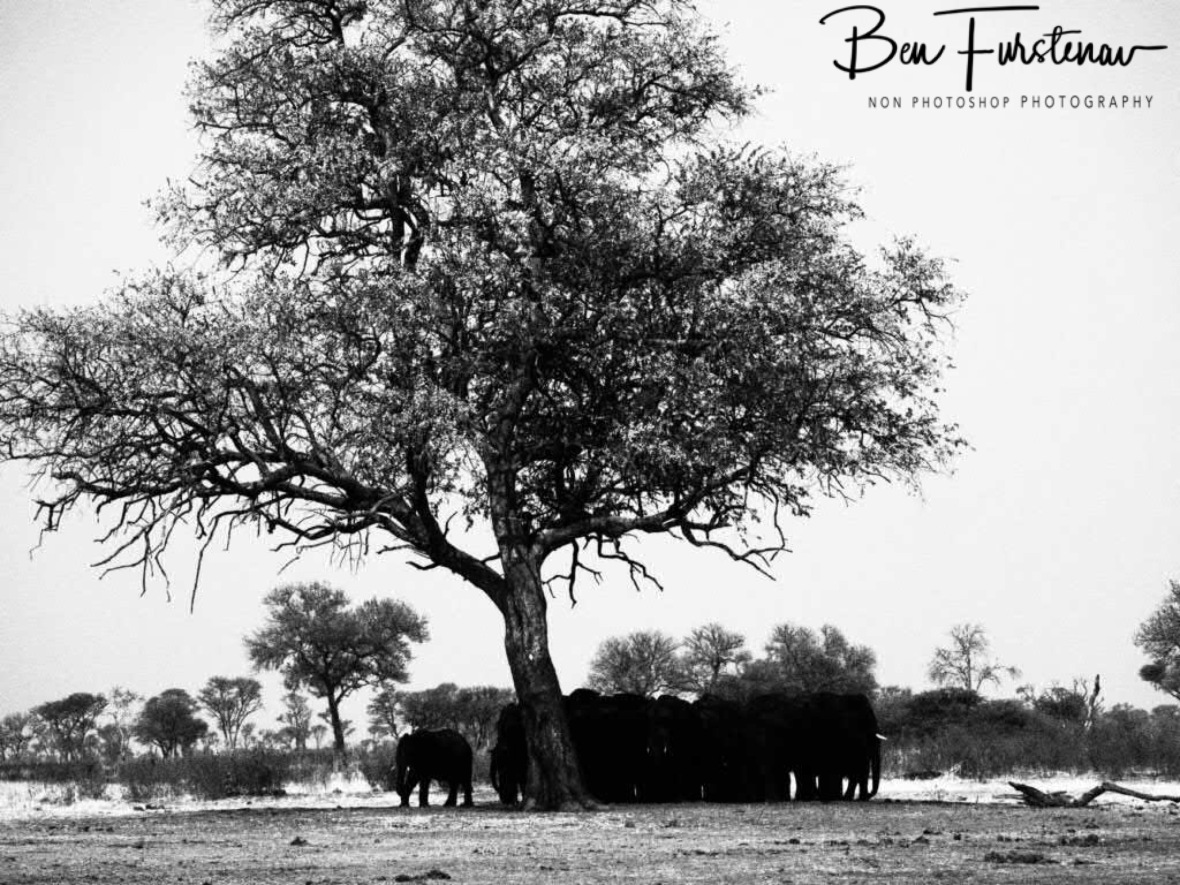 Arrived tree, large herd, Khaudum National Park, Namibia